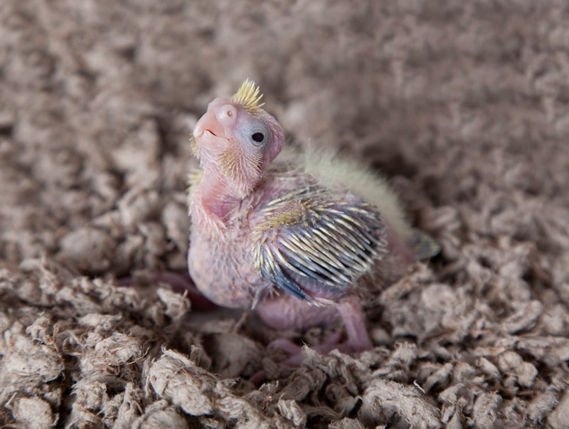 What Does a Baby Cockatiel Look Like
