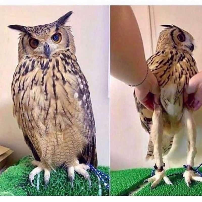 owl Leg Length