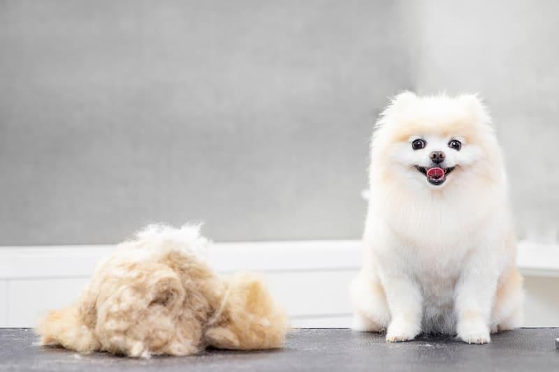 Are Pomeranians Hypoallergenic