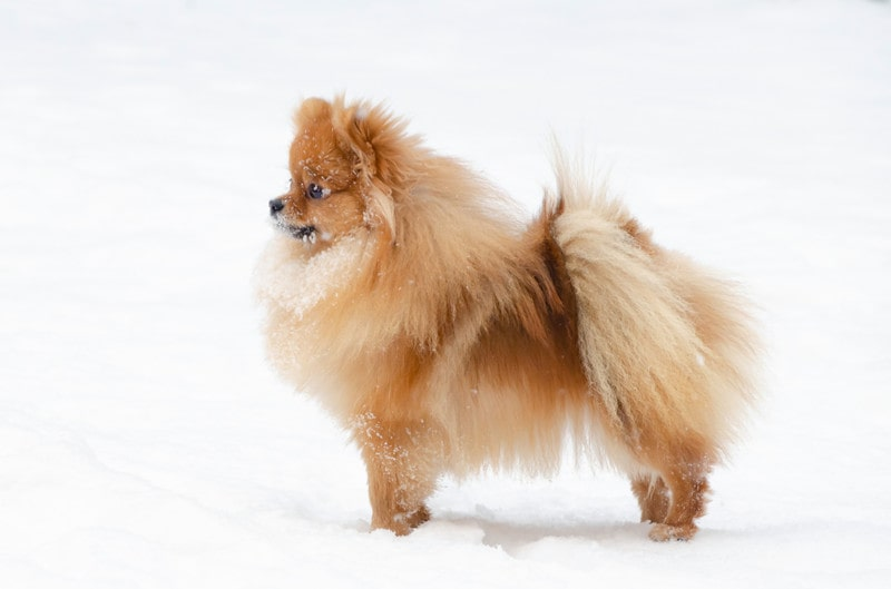 Can Pomeranians Stay Outside in the Cold
