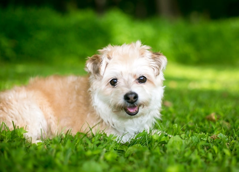 Pomeranian Poodle Mix-Everything You Need to Know