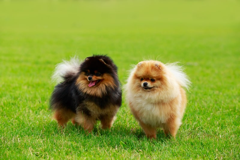 What Are Pomeranians Bred For