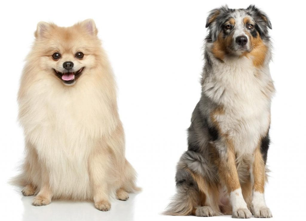 Australian Shepherd Pomeranian Mix-Everything You Need to Know