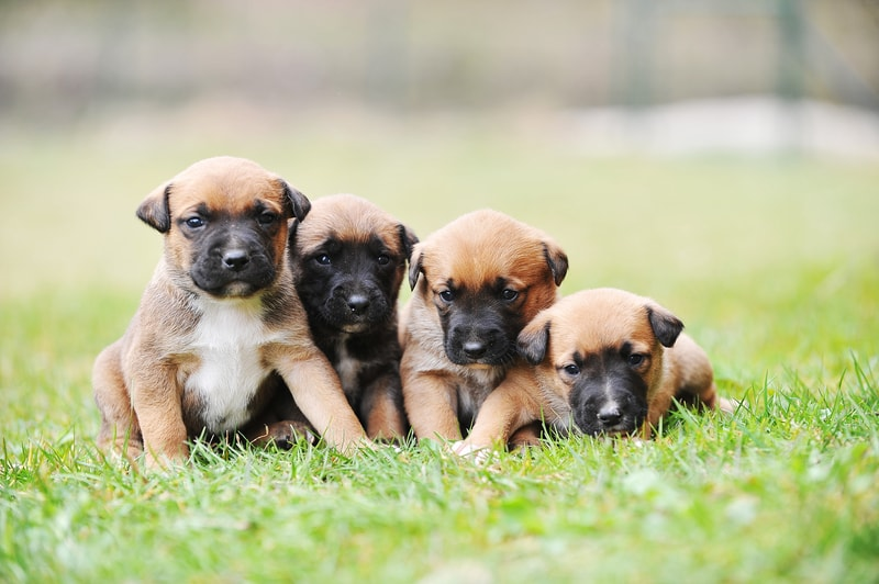 Best Age to Breed a New Belgian Malinois