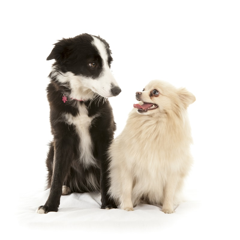 Border Collie Pomeranian Mix-Everything You Need to Know