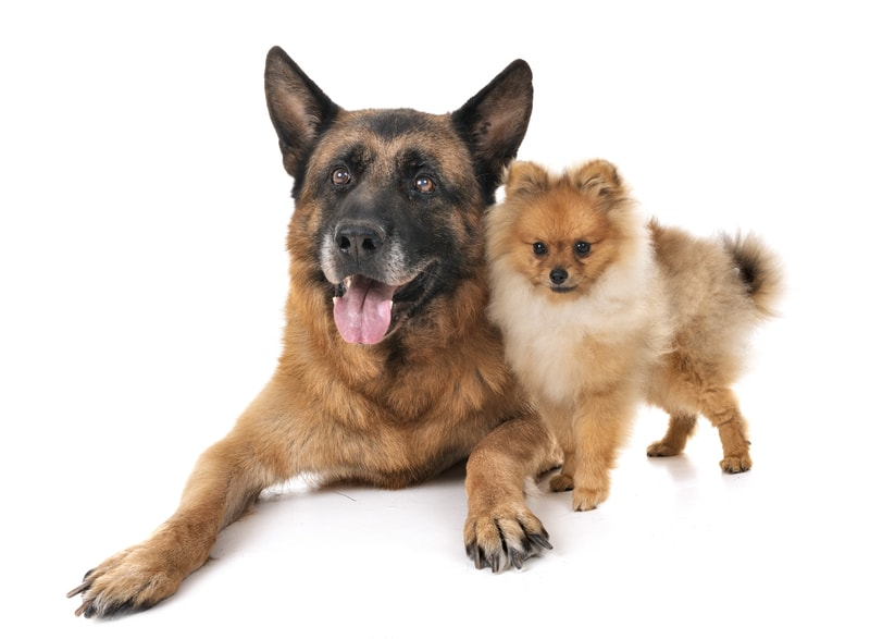 German Shepherd Pomeranian Mix-Everything You Need to Know