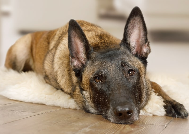 How Much Sleep Should A Belgian Malinois Have