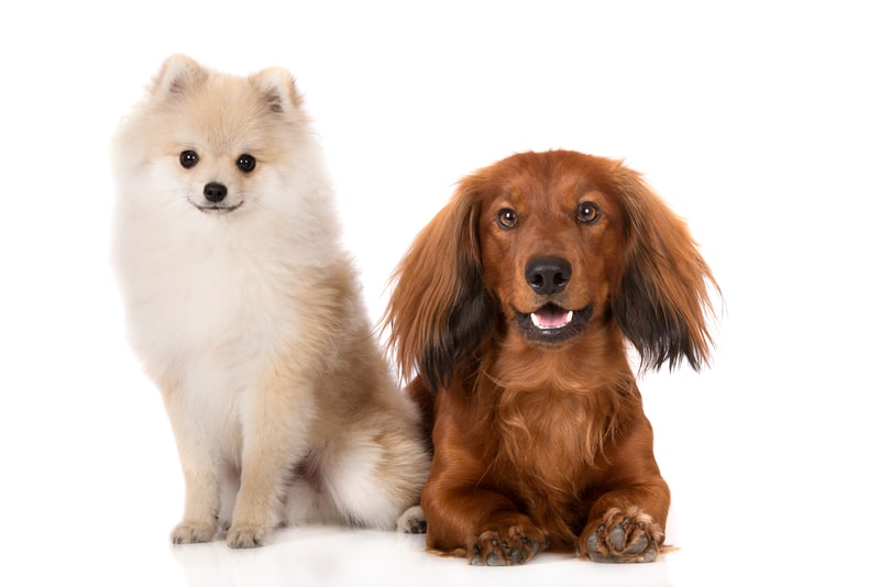Pomeranian Dachshund Mix -Everything You Need to Know