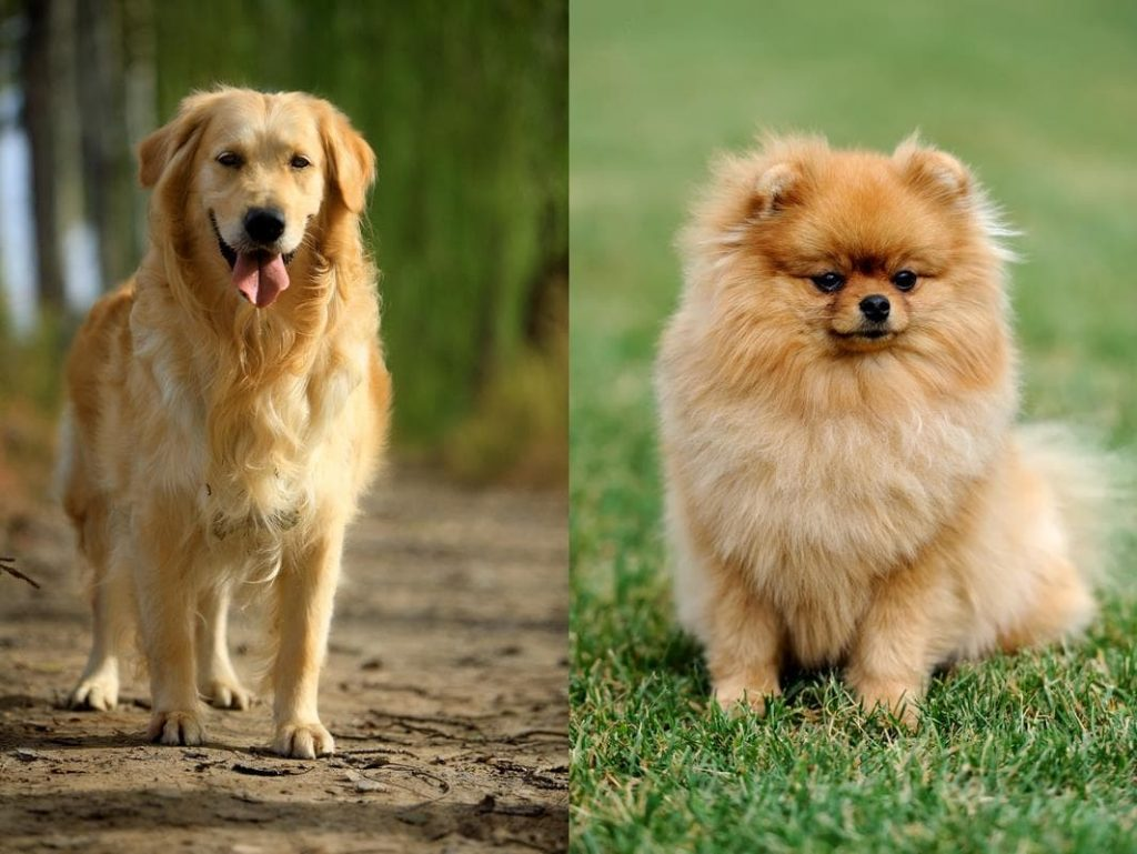 Pomeranian Golden Retriever Mix-Everything You Need to Know