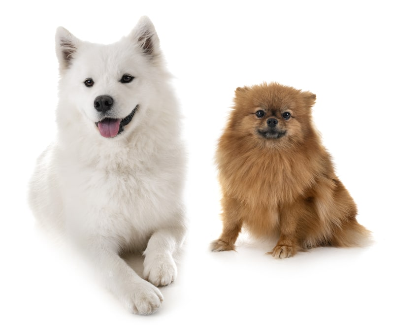 Samoyed Pomeranian Mix-Everything You Need to Know