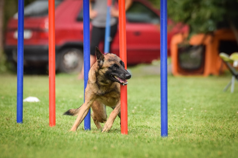 Are Belgian Malinois Easy to Train