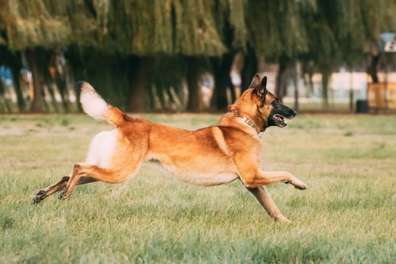 Can Belgian Malinois Run Long Distances