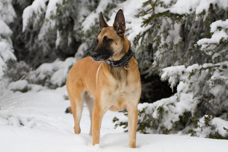 Can Belgian Malinois Stay Outside in the Cold