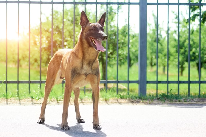 Can Belgian Malinois Stay Outside in the Heat