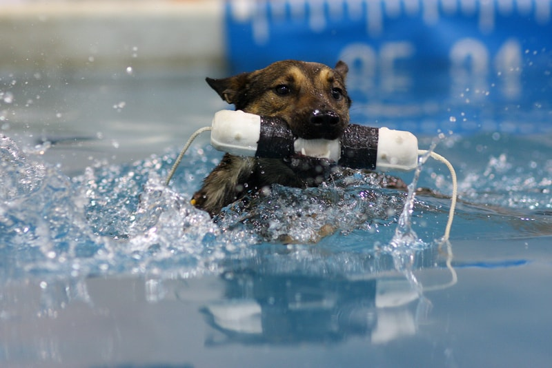 Can Belgian Malinois Swim