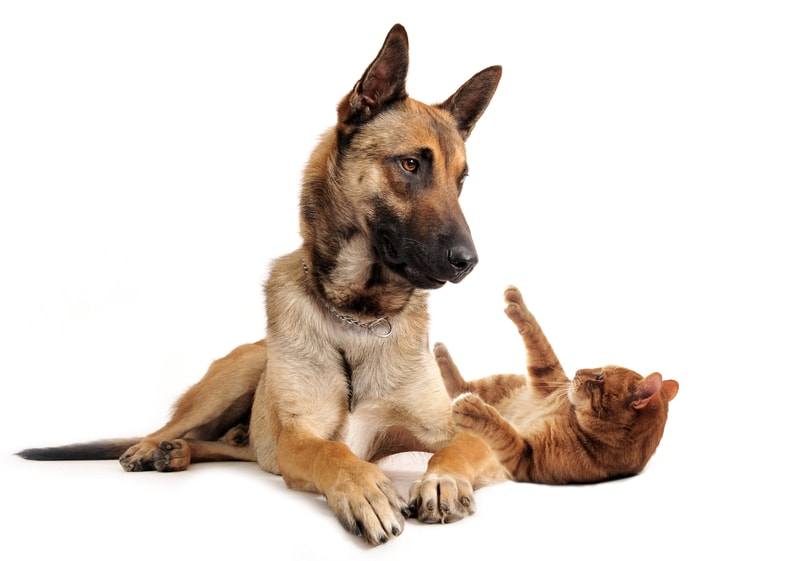 Do Belgian Malinois Get Along With Cats