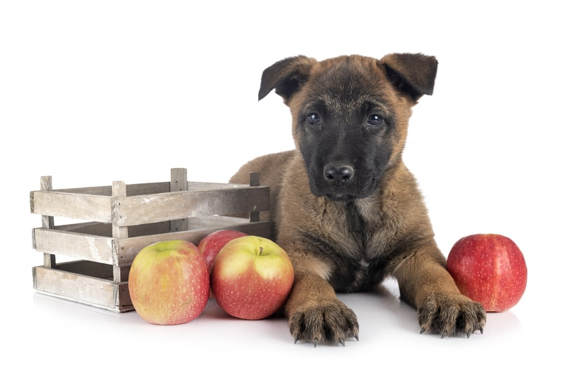 The Ultimate Guide to What Belgian Malinois Can And Can't Eat