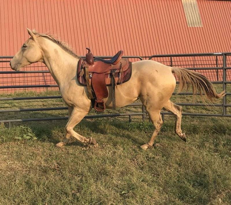 Amber Champagne Horses