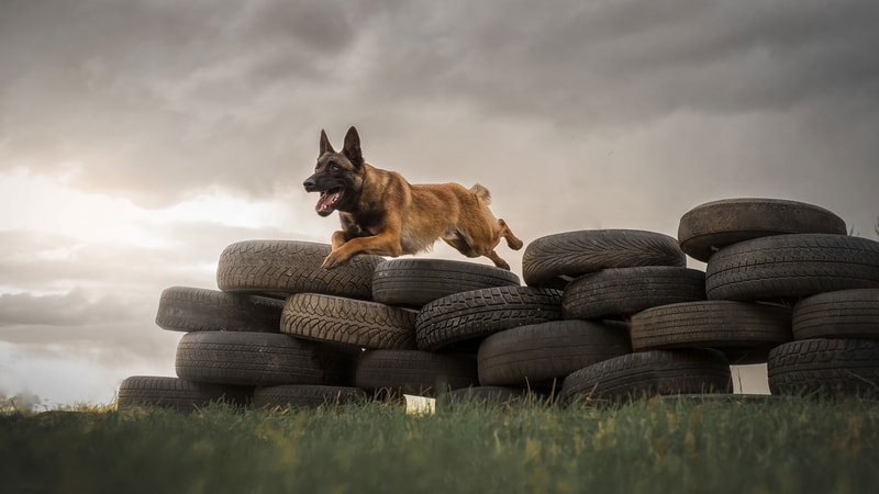 Are Belgian Malinois Good Service Dogs