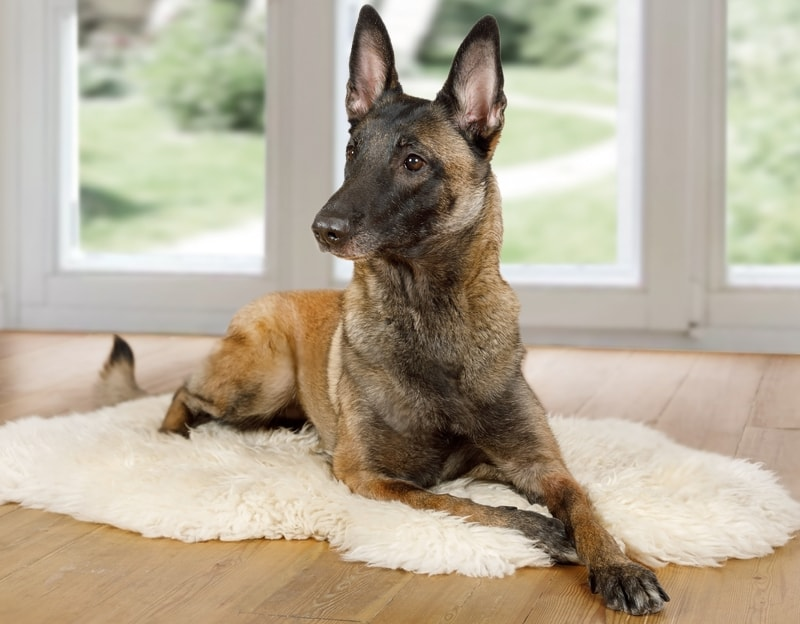 Are Belgian Malinois Hypoallergenic