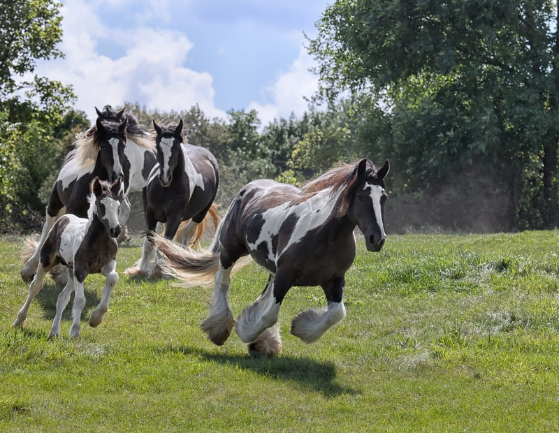 Are Gypsy Horses Good For Riding