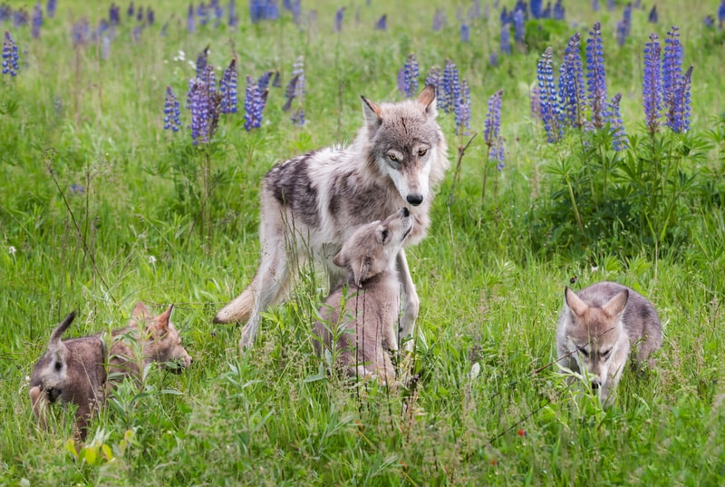 Are Wolves Good Parents