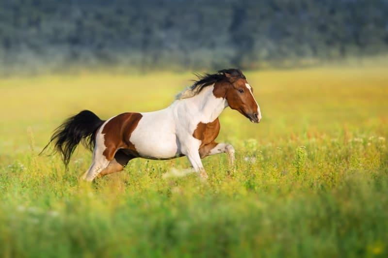 Bay Pinto Horses