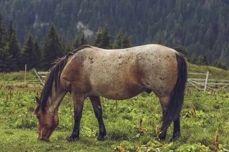 Bay Roan Horses