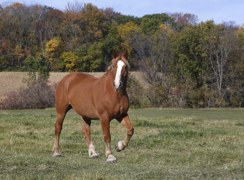 Belgian Horse Color