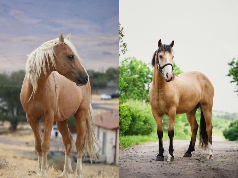 Are Palomino Horses a Breed