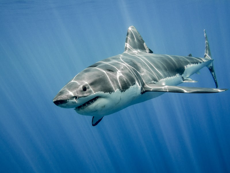 Great White Shark Bite Force
