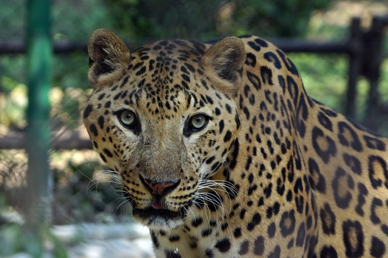 How Strong Is A Jaguar