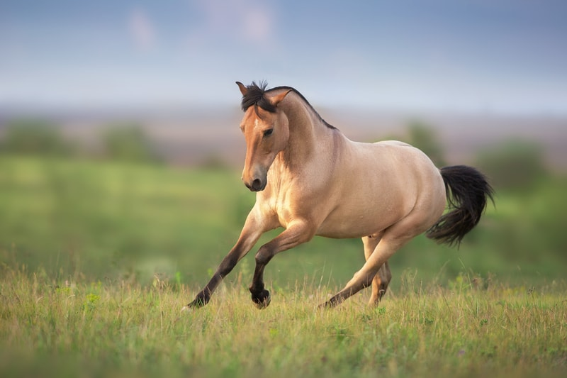 Is Buckskin a Color or a Breed