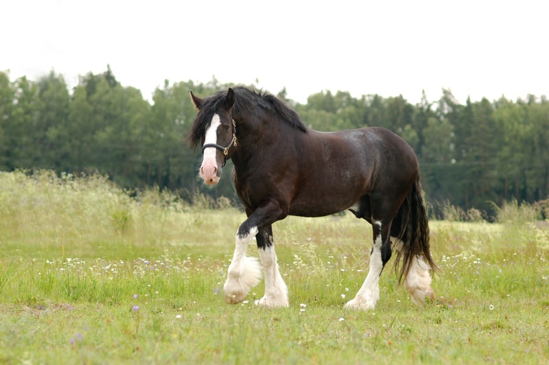 Is a Shire Horse Bigger Than a Clydesdale