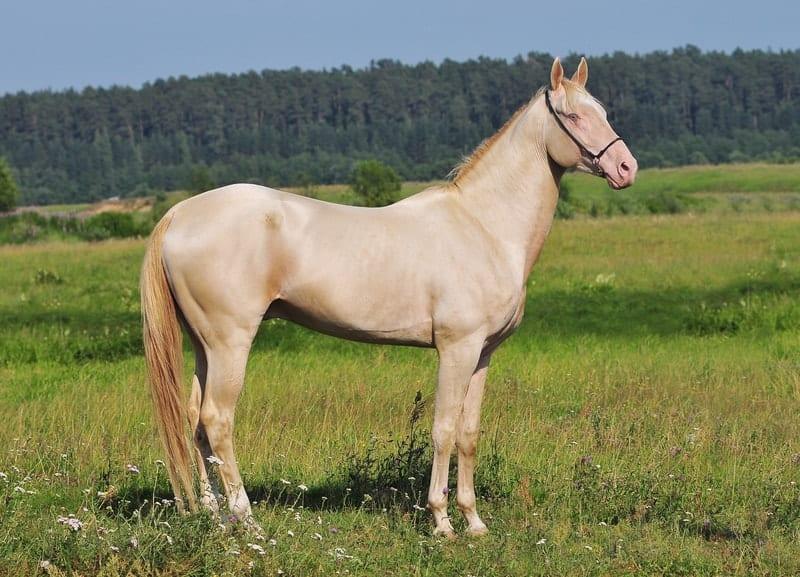 Perlino Horses