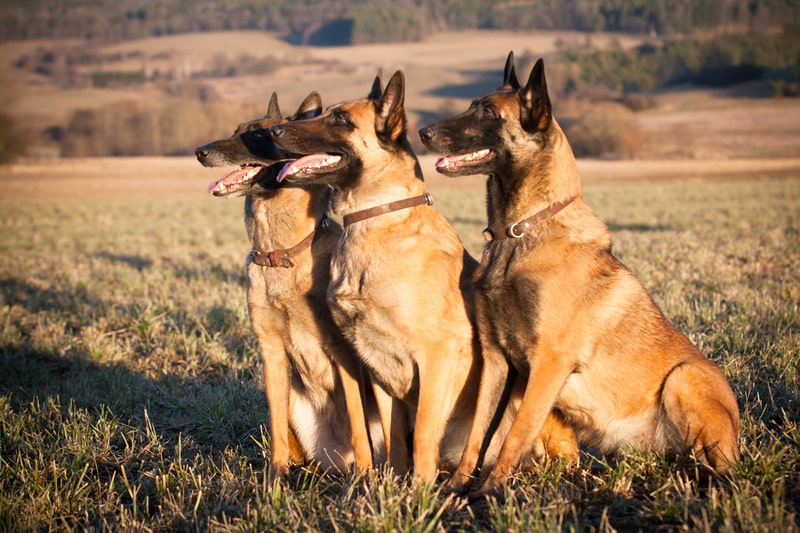What Are Belgian Malinois Bred For