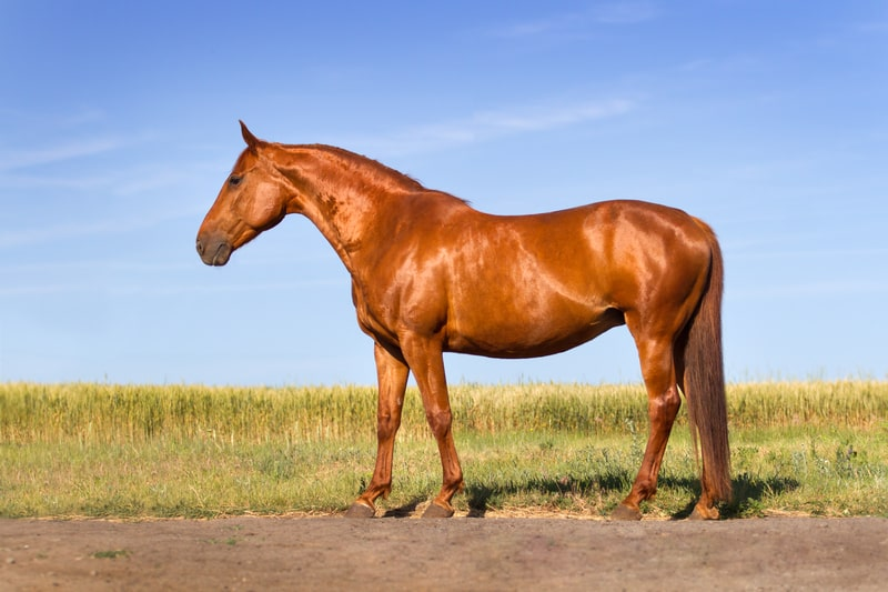 What is a Sorrel Horse