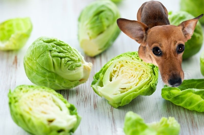 Dogs Eat Brussels Sprouts