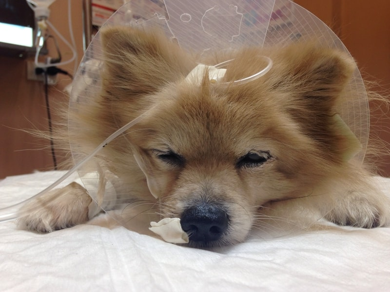 When to Euthanize A Dog With Tracheal Collapse