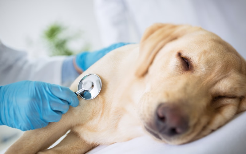 When to Euthanize a Dog With Lymphoma