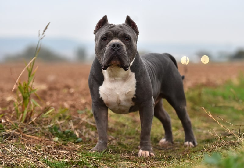 Are American Bully dogs Aggressive