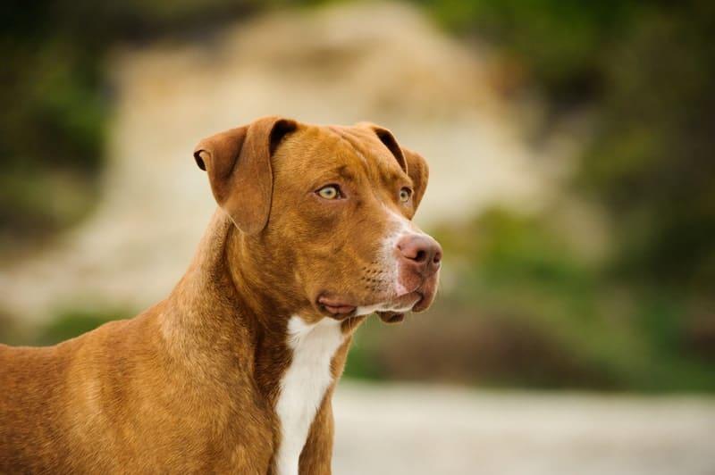 Is a Pitbull a Good Dog