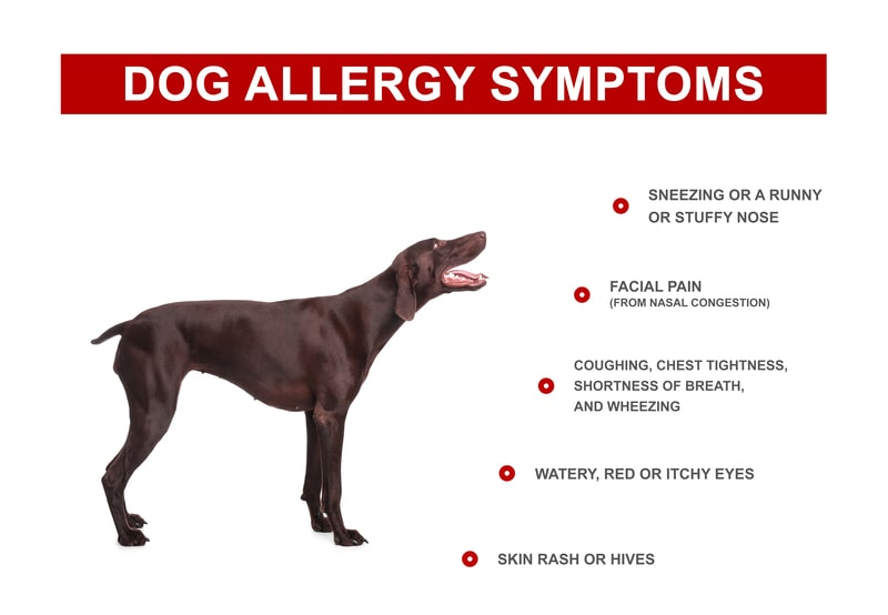 Symptoms of Allergic Reaction to Dog Dander