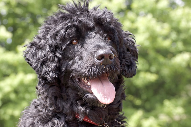 What is a Hypoallergenic Dog