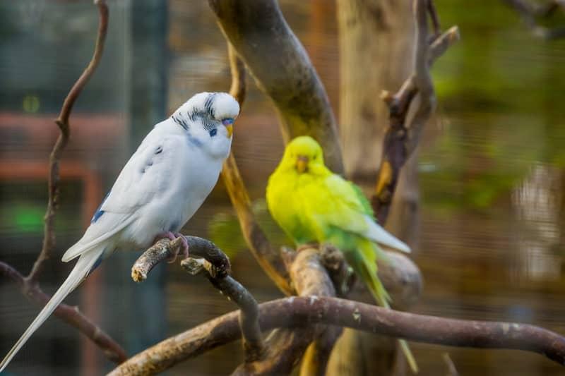 Albino Parakeets