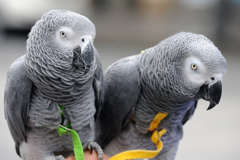 Are African Grey Parrots Good Pets