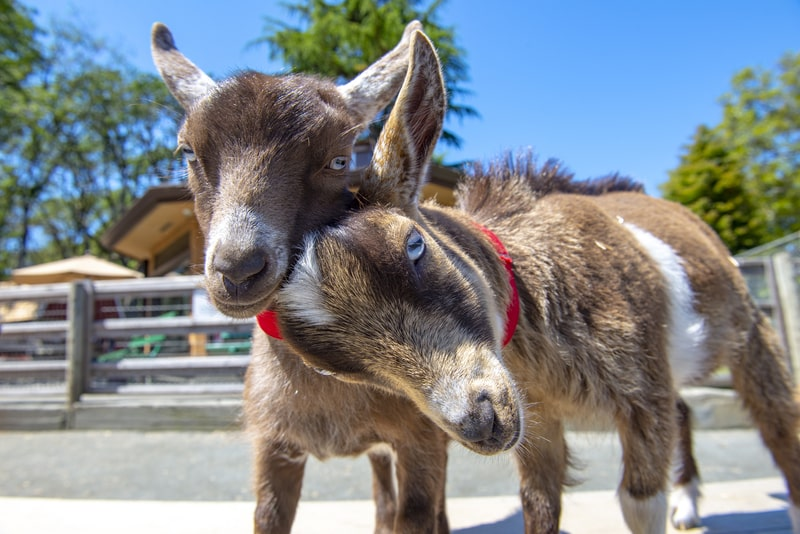 Are Baby Goats Good Pets