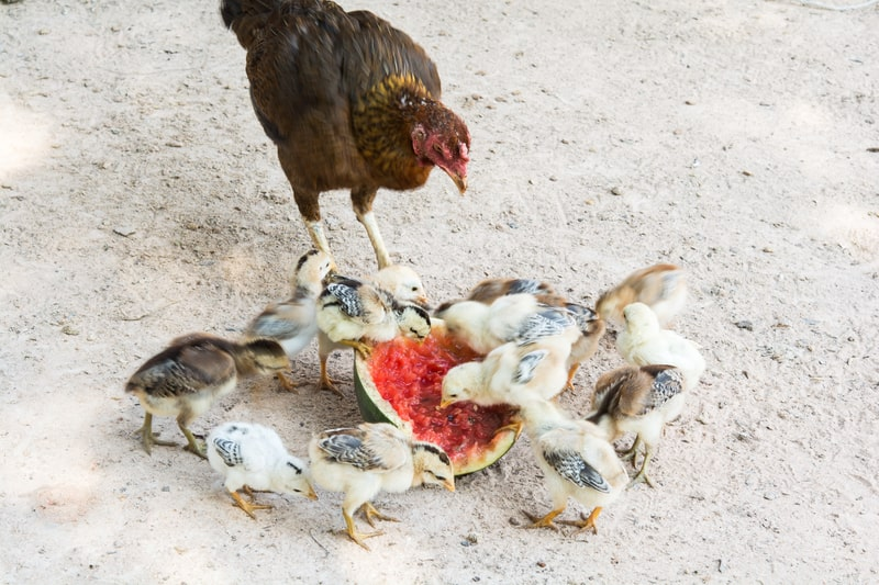 Can Baby Chickens Eat Watermelon