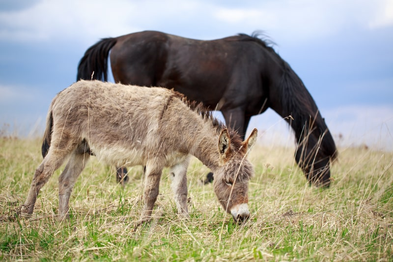 Can Donkeys Live with Horses