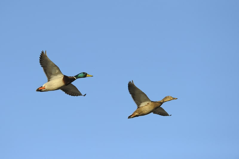 Can Ducks Fly